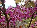 Cercis siliquastrum'Albero di Giuda' pianta in vaso ø28 cm