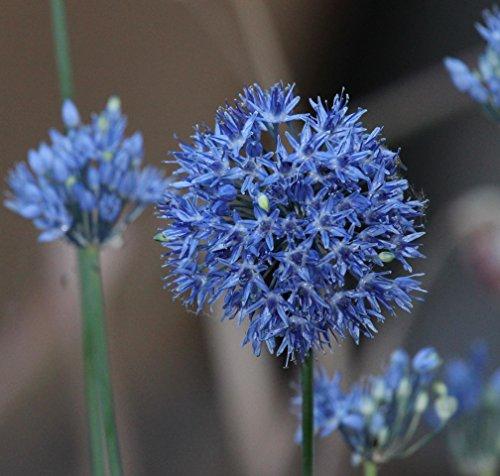 Blumenhandel Ullrich Allium Caeruleum Blaulauch Zierlauch 25 Blumenzwiebeln