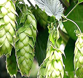 MySeeds.Co 100 x Hops - Humulus lupulus - Seeds - Brew Your OWN Beer Today - Comes Back Every Year - Plants Develops Rhizomes - Zones 3-8