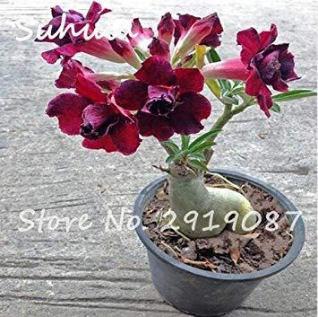 Fash Lady 100% ture Rare Pétales de fleurs roses Graines 2 Pcs belle rose du désert graines de plantes d'intérieur en pot ight up votre jardin facile grandir 1