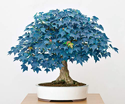 Rare 10 Pcs Blue Maple Seeds -Great for Bonsai Outdoor Decoration