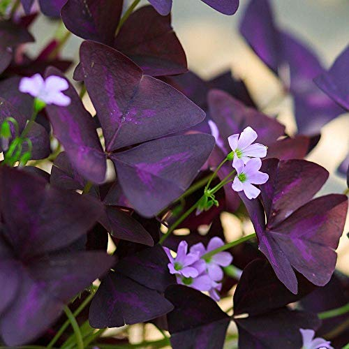 Oxalis Bulbs -Purple Shamrocks -10 Bulbs Shamrock Oxalis Triangularis Bulbs Bonsai Garden Planting Flower Fast-Growing