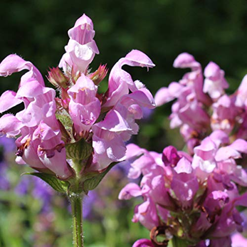 4 x Prunella Grandiflora 'Pink Loveliness' - Brunel pot 9cm x 9cm