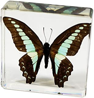 Nature Gift Store Real Blue Jay Butterfly Paperweight: Professionally Displayed and Mounted in Lucite Block