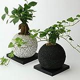 【eco-pochi NEO】ガジュマル × エコポチ・スフィア(球型通常サイズ) 白 竹炭やシラスを使った観葉植物用植木鉢