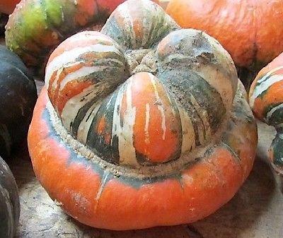 Squash Turban d'hiver de Turk 10 graines Turcs Cap d'ornement Gourd comestibles