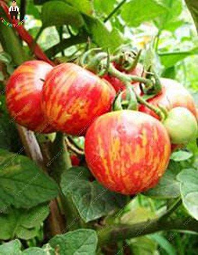 100pcs Violet Tomates cerises Graine Fruits et légumes Balcon Bonsai Seed Facile à cultiver jardin plantes en pot kaki foncé