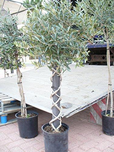 Olivenbaum/Oleaeuropea - Olivenbaum mit gedrehtem Stamm (zwei Pflanzen um ein Rohr gedreht)