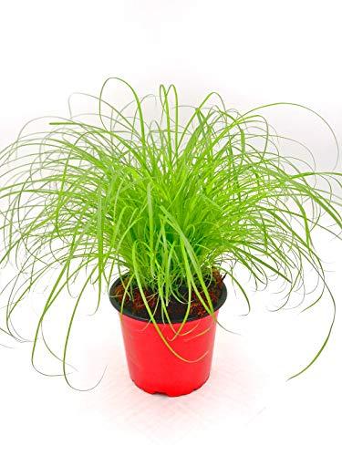 Katzengras Cyperus zumula Futter Pflanze für Ihren Stubentiger 3stk.