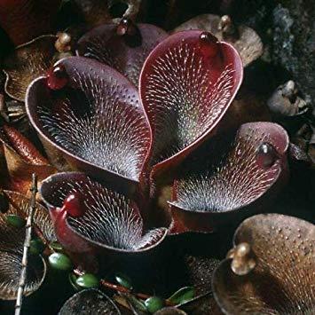 VISA STORE 25 Dark Brown Samen Fleisch fressende Samen Flytrap Bug Essen Exotisch