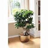 UEYR Rare Ficus microcarpa Semi di Semi, Cina Roots Sementes Semi Bonsai Ginseng Banyan Garden seminatrici Outdoor - 5pcs / Lot