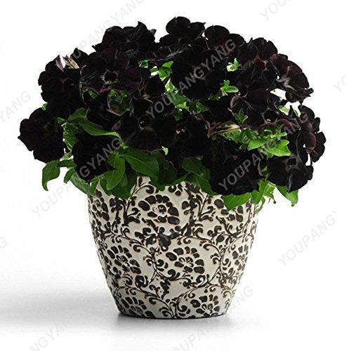 200 pcs/sac Petunia Graines Bonsaï Graines de fleurs Court Taille Jardin Fleurs Graines d'intérieur ou à l'extérieur Livraison gratuite Plante en pot bleu ciel