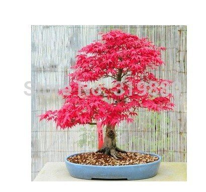 30 pcs / lot JARDIN BONSAI TREE SEED Hong Fengshu graines d'arbres, pinus graines en pot Terrain