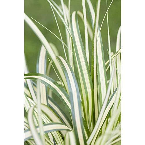 Carex hachijoensis 'Evergold' -...