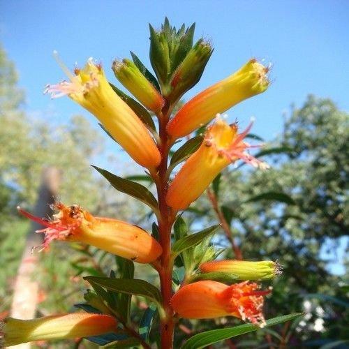 Mexikanische Zigarre Pflanze Mix Samen (Cuphea Ignea Coan) 20 + Seeds