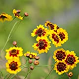 xinduo estivi semi,semi di fiori di crisantemo snakehead facili da coltivare: 500 capsule,semi per piante da giardino