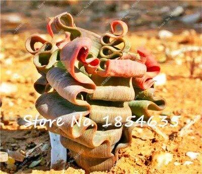 Vendita calda 100 pz semi di piante grasse rare semi di Lithops pseudotruncatella ufficio bonsai piante da fiore pianta da interno fleshier