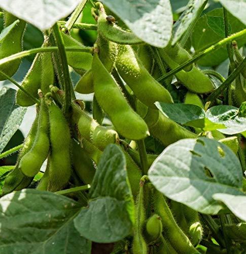 10 Sojabohne Samen, Glycine max, Edamame seeds, Sorte MERLIN, Ökosaatgut, früheste Sorte
