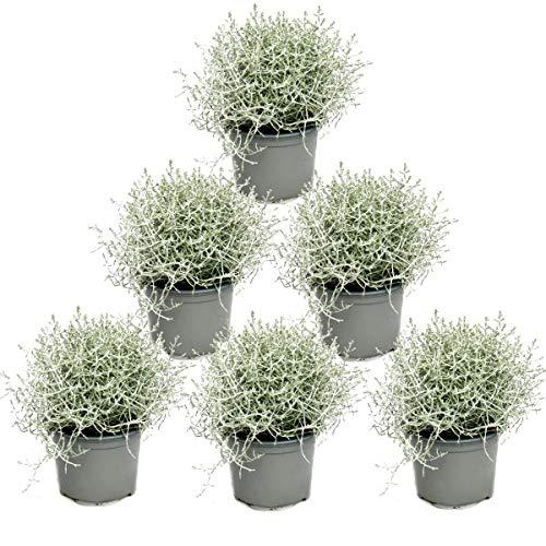 Stacheldrahtpflanze - Silberdraht - Calocephalus brownii - 12cm Topf 6 Pflanzen