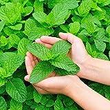 Smilikee Herb Seeds - Graines de Menthe Verte - Bonsaï - 500pcs