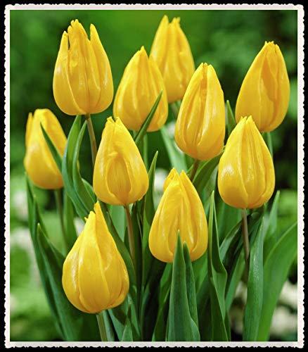Tulipani bulbi-Bulbi da fiore, Facile visualizzazione delle piante Fiori romantici Fiori Aiuola resistente-10 Bulbi,giallo