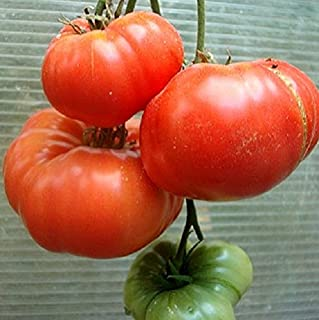 50+ Seeds of Rare Heirloom Solanum lycopersicum - 'Black Mountain Pink' Tomato. Rare treasure discovered from an abandened homestead in Kentucky! 80 Days
