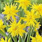 Bulbos de narciso bulbos de flores plantas, semillas y bulbos-10Bulbos,B