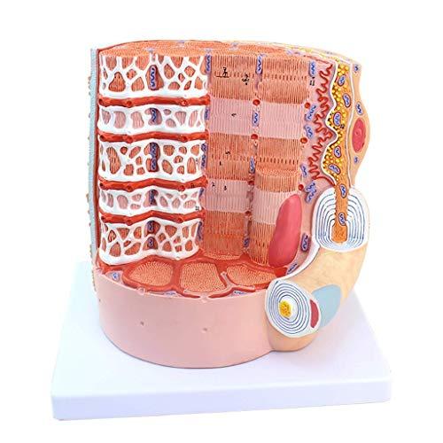 LXX Muskelfaser-Modell Mikrostruktur Anatomisches Modell Zoom in 10.000 Mal Umweltfreundliches PVC-Material Handarbeit Malerei Medizinisches Lehrwerkzeug