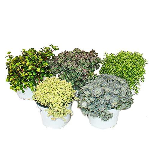 Exotenherz - 5 verschiedene Winterharte Sedum-Pflanzen - Fetthenne - abwechslungsreiches Farbspiel
