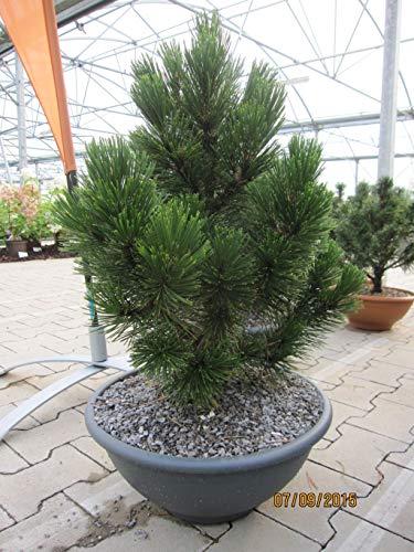 Pinus leucodermis Little Dracula - Schlangenhautkiefer Little Dracula