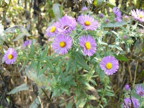 100 PURPLE NOUVELLE-ANGLETERRE ASTER (Daisy Saint-Michel) Aster novae var Angliae Graines de fleurs