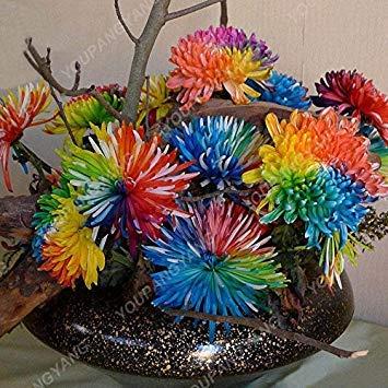 VISTARIC Schwarz: 100 Stück/bag Bodendeckend Chrysantheme Samen, Chrysantheme ausdauernde Bonsai Blumensamen Gänseblümchen Topfpflanze für Hausgarten Schwarz