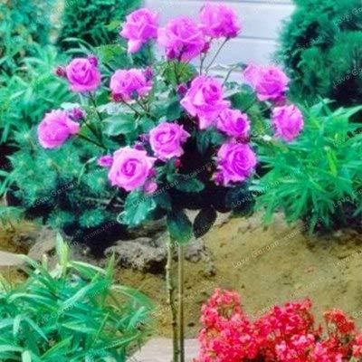 Bloom Green Co. Vente chaude 50 Pcs Rare Rose Tree Bonsai chinois Belle bricolage Home Jardin Balcon Jardin Belle pot de fleur plante facile à cultiver: 3