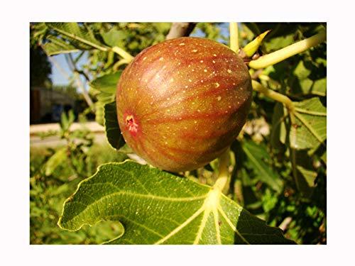 Figuier rare, auto-fertille, FICUS CARICA 'Signora' grands fruits rose-violette, tolérant au froid, 15-20 cm de haut dans un pot de 9 cm
