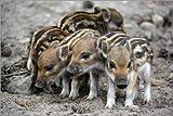 Poster 90 x 60 cm: Wildschwein Frischlinge von GUGIGEI -