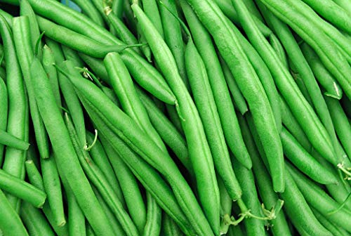 String Bean Bush Blue Lake | 50+ Seeds + | Non-GMO, Heirloom Seeds, Grow Your Own Food | Vegetable Seeds for Planting