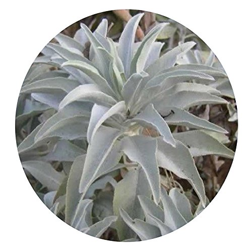 WuWxiuzhzhuo Lot de 100Graines de Sauge Blanche Salvia Apiana de Californie, Aromate...