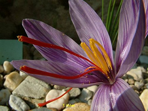 50 Zwiebeln Safrankrokus- Echter Safran- Crocus sativus - teuerstes Gewürz der Welt