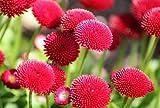 Heirloom 2000 Graines pâquerette Monstrosa Bellis Red Garden Corse fleurs en vrac Graines S022