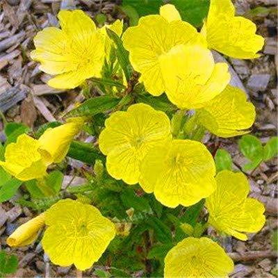 Pinkdose ! Heißer Verkauf 200pcs Fragrant Nachtkerze Pflanze Abend Gras flores Bonsai Blume plantas schönen duftenden Blume Hausgarten: 1