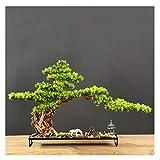 jbshop Bonsai Plant Bienvenido Pine Bonsai Plant Podocarpus Chinensis Landscape Micro-Landscape Entrada Hotel Nuevos Ornamentos, Regalos y Manualidades Fake Plant Decoration Plantas