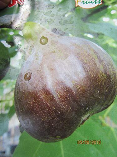 Ficus carica Bornholm Diamant - Feige carica Bornholm Diamant
