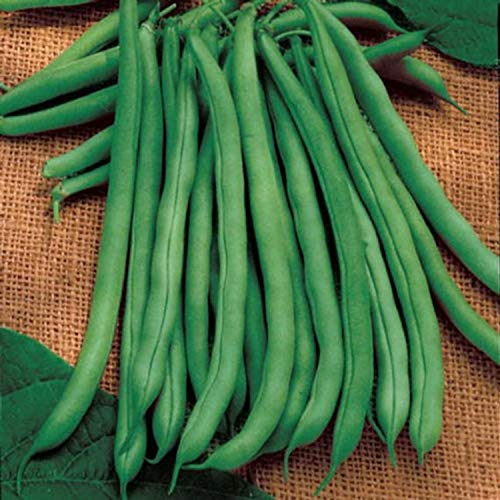 blue lake pole beans - 2