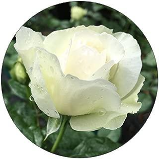 Bolero Rose - Romantica Roses