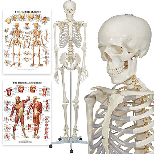 Buddy The Budget Skeleton - Human Skeleton Anatomical Model - Life Size 175 cm...