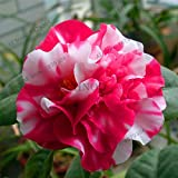 Bloom Green Co. ! Grande vendita Rare viola camelia bonsai dei 50 pc in vaso Flower Garden flores in vaso piante ornamentali plantas giapponesi Camellia, BBU2: 9