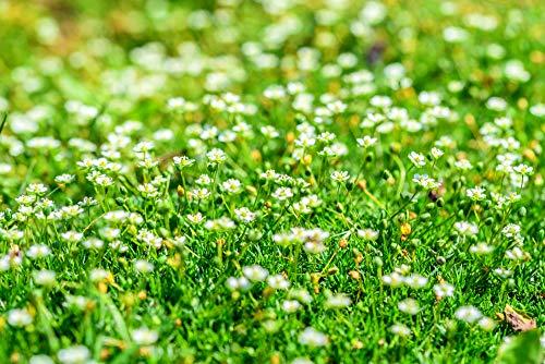 Sagina subulata Plattenmoos 250 Samen, Mastkraut Sternmoos