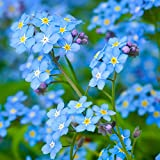 Forget Me Not Flowers (Myosostis sylvatica) - Over 5,000 Premium Seeds - by 'createdbynature'