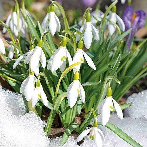 AIMADO Samen-Rarität 100 Pcs Schneeglöckchen 'Galanthus Elwesii' Weiß Blumen Winter Blumensamen mehrjährig winterhart pflegeleicht Saatgut für Garten