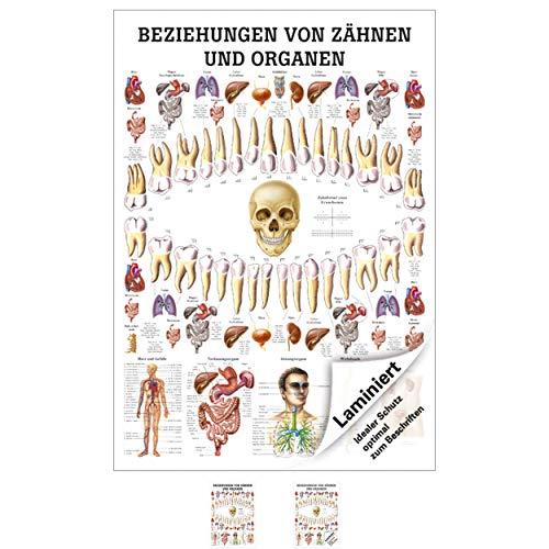 Ruediger Anatomie MIPO75LAM Beziehungen von Organen und Zähnen Tafel, 24 cm x 34 cm, laminiert